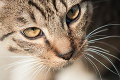 Cat eyes. Eyes, whiskers and nose of the cat Stock Photography