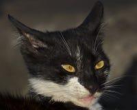 Cat Eyes Yellow Royalty Free Stock Photo