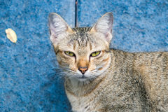 Cat eyes yellow looking stare disingenuous hypocrisy Stock Photography