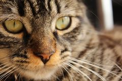 Cat Face imagens de stock
