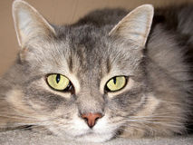 Cat Face. Close up of a long haired grey cat with yellow-green eyes Royalty Free Stock Photos