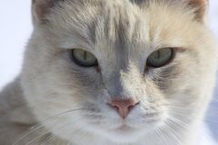 Cat Face. Full face view of a white cat with a pink nose.  Snow background Royalty Free Stock Photography