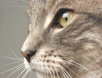 Cat Face. Closeup Stock Photos