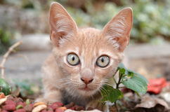 Cat face. Cute cat face pretty surprised Royalty Free Stock Photo