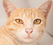 Cat face. Cat Straight face and big eye on white background Royalty Free Stock Photo