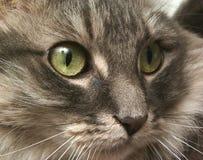 Cat Face. Closeup Stock Images