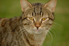 Cat face Royalty Free Stock Images