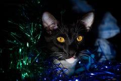 Cat Face Foto de archivo libre de regalías