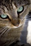 Cat Face Royalty Free Stock Photo