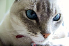Cat with blue eyes Royalty Free Stock Image