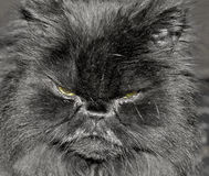 Cat face. Angry looking black cat face Stock Photos