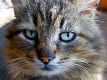 Cat face. Pleasant face of a good cat furry Royalty Free Stock Image