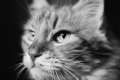 Cat face art image of a black and white Royalty Free Stock Photos