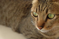 Cat face big eye Stock Image