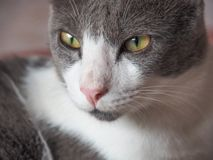 Cat Face With Big Eyes Staring. Close Up Of Cat Face With Big Eyes Staring Royalty Free Stock Images