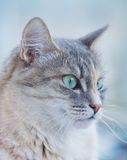 Cat face on the blue background Royalty Free Stock Photography