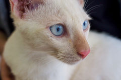 Cat face with blue eyes. White Cat face with blue eyes Stock Image