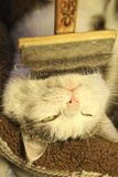 Cat face with brush being grooming. Close up photo Stock Photos