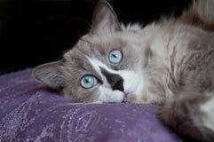 Cat face close-up Stock Image