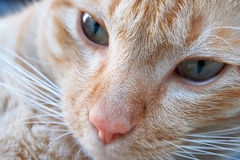 A cat face Royalty Free Stock Images