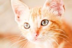 Cat Face Close Up curieuse image libre de droits