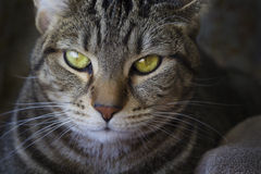 Cat face close up. Detail image of a cat staring with hypnotic eyes stock images
