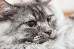 Cat face close up Royalty Free Stock Photography
