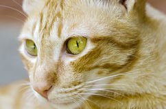 Cat face in close up. Close up face portrait of thai cat Stock Photos