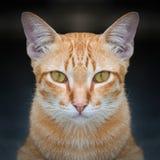 Cat face close up Stock Photography