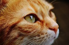 Cat, Face, Close, View, Eyes Stock Images