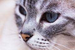 Cat Face Closeup Foto de Stock Royalty Free