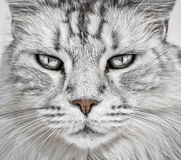 Cat Face Closeup Image stock