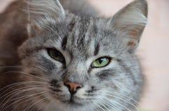 Cat Face Closeup Royaltyfri Bild