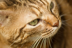 Cat face closeup Stock Images