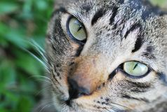 Cat Face Closeup Royalty Free Stock Photo