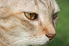 Cat face closeup. Looking something Stock Photography