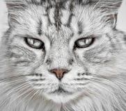 Cat face closeup Stock Image