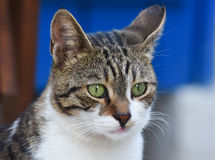 Cat face with green eyes, closeup, isolated. Stock Photography