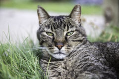Cat face. Cat laying in the grass Royalty Free Stock Photos