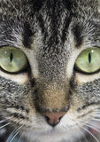 Cat Face Stock Image