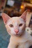Cat face with orange eyes. White Cat face with orange eyes Stock Photo