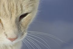 Cat Face, partial view. Partial face view of a white cat with a pink nose.  Snow background Royalty Free Stock Images