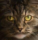 Cat face portrait, close up Stock Photos