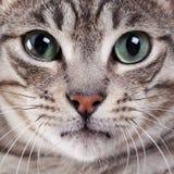 Cat face portrait in studio. Cat face with green eyes portrait in studio Stock Photo