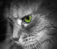 Cat face profile. Green eye. Royalty Free Stock Photography