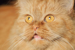 Cat face. Red cat with red eyes royalty free stock image