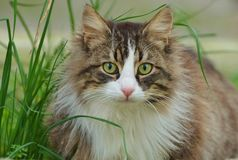 Cat Face, regard de chat Photos stock