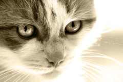 Cat face sepia Royalty Free Stock Photo