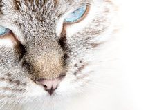 Cat face with serious eyes. Closeup. Selective focus Royalty Free Stock Photo