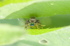 A cat-face spider caught a fly. Stock Images